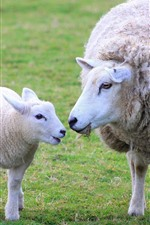 Preview iPhone wallpaper Two sheep, lamb