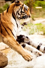 Preview iPhone wallpaper Two tigers play water