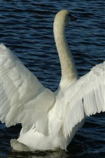 Two white swans, play, pond