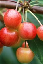 Cerejas verdes, frutas