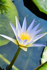 Preview iPhone wallpaper Water lily, blue purple petals, pond, green leaves