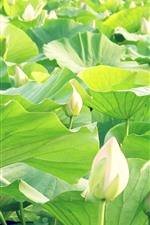 Preview iPhone wallpaper White lotus flower buds, green leaves