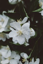White sakura, flowers, water droplets