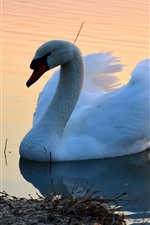 Preview iPhone wallpaper White swan, pond, morning