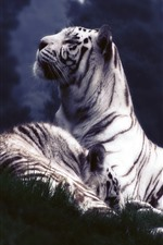 Preview iPhone wallpaper White tigers, rest, grass, dusk
