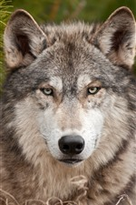 Preview iPhone wallpaper Wolf, front view, look, wildlife
