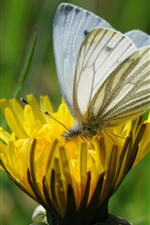 Preview iPhone wallpaper Yellow flower, white butterfly, wings