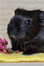 Black guinea pig, pink flowers
