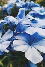 Blue flowers close-up, petals