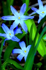 Blue orchid, flowers, green leaves