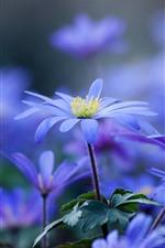 Flores roxas azuis close-up, primavera