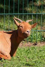Brown goat, rest, sunshine
