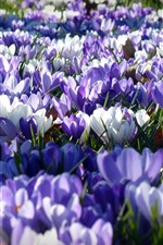 Preview iPhone wallpaper Crocus, many white and purple flowers, garden