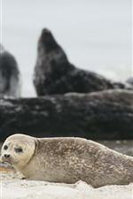 Preview iPhone wallpaper Cute fur seal, beach