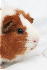 Preview iPhone wallpaper Cute guinea pig, pet, fluffy