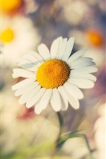 Preview iPhone wallpaper Daisy macro photography, flowers, hazy
