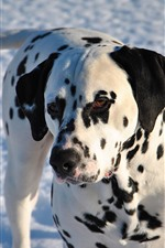 Dalmatian, dog, snow, winter