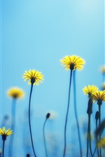 Preview iPhone wallpaper Dandelions, yellow flowers, blue background