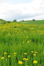 Preview iPhone wallpaper Dandelions, yellow flowers, green grass, field