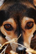 Dog, rest, face, eyes, look