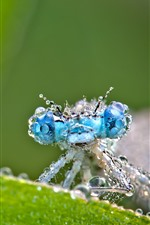 Preview iPhone wallpaper Dragonfly, water droplets, blue eyes