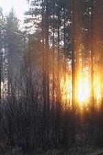 Forest, trees, sun rays, sunset, winter