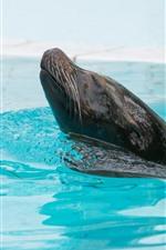 Preview iPhone wallpaper Fur seal, swimming pool