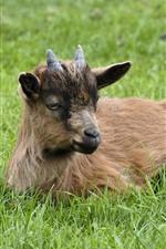 Preview iPhone wallpaper Goat, horns, green grass