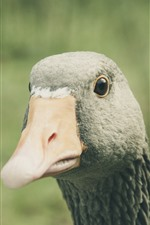 Preview iPhone wallpaper Goose, head, neck, beak