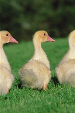 Preview iPhone wallpaper Goslings, grass