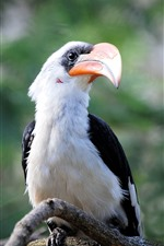 Preview iPhone wallpaper Great hornbill, bird, beak