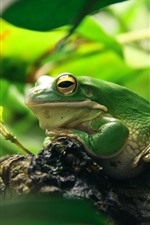 Preview iPhone wallpaper Green frog, leaves, animal