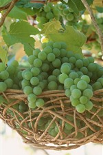 Preview iPhone wallpaper Green grapes, basket, harvest