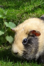 Preview iPhone wallpaper Guinea pig, grass