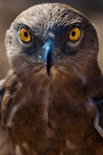 Preview iPhone wallpaper Hawk, brown feather eagle, beak, eyes, bird