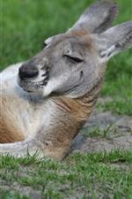 Kangaroo, rest