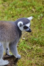 Lemur, tail, cute animal