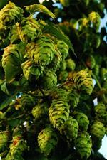 Many green hops
