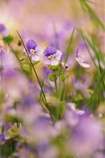 Muitas pequenas flores roxas, nebulosas, grama, natureza
