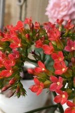 Many little red flowers, houseplant
