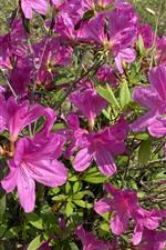 Many pink azalea, flowers, park