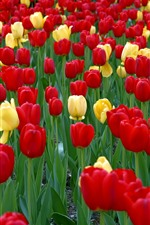 Preview iPhone wallpaper Many red and yellow tulips, garden