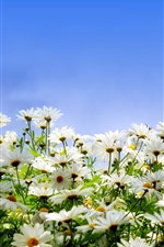 Preview iPhone wallpaper Many white daisies, petals, blue sky
