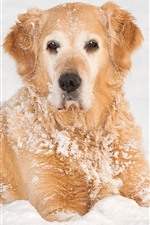 Orange dog, snow, cold