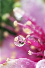 Preview iPhone wallpaper Pink flower close-up, pistil, water droplets