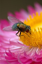 Preview iPhone wallpaper Pink flower, petals, fly, insect