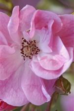 iPhone壁紙のプレビュー ピンクのバラのマクロ写真、花びら、春