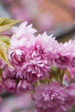 Pink sakura blossom, twigs, spring, beautiful flowers