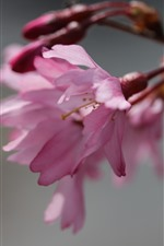 Preview iPhone wallpaper Pink sakura close-up, flowers, spring
