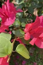 Vorschau des iPhone Hintergrundbilder Rote Bougainvillea, Blumen, Blütenblätter, Sonnenschein